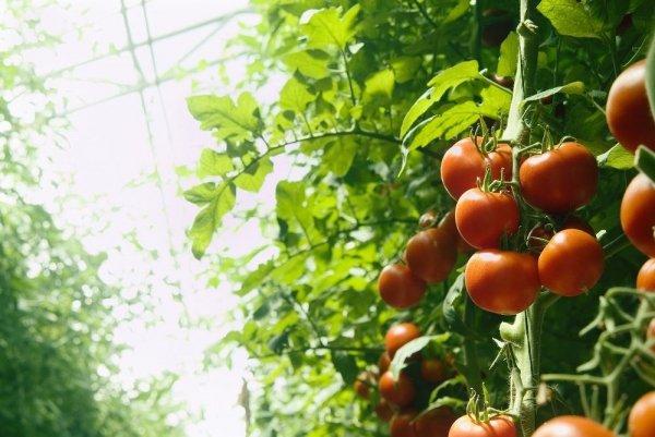 Самодельные теплицы своими руками - выгодный способ получения большого урожая картинка